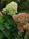Гортензия метельчатая Limelight (Центр внимани 2г, фото 2