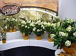 Гортензия метельчатая Candlelight(Свечи) 3 года горшки С2 , фото 4