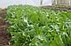 Семена рукколы Грация \ Grazia 1.000.000 семян Enza Zaden, фото 2