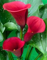 Калла клубневая Majestic Red (Маджестик рэд)