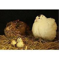 """Инкубационное яйцо перепела породы """"Белый Техасец"""""""