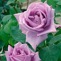 Роза плетистая Blue Lady (Блу леди)