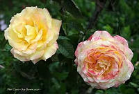 Роза чайно-гибридная Пер Гюнт. (Peer Gynt)