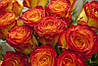 Троянда флорибунда Цирк (Circus)