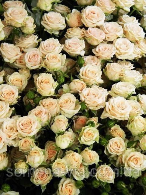 купить семена роз в интернет магазине