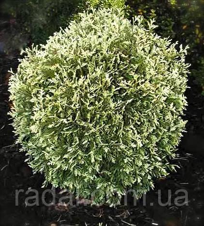 Туя западная Голд Перл Р9 ( Thuja occidentalis Gold Pearl )