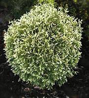 Туя западная Голд Перл Р9 ( Thuja occidentalis Gold Pearl ), фото 1