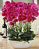 Для влюбившихся в прекрасный цветок Фаленопсис.