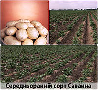 Саванна купить семенной картофель 1р