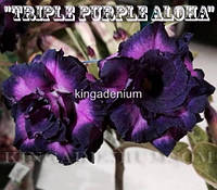 Адениум семена Triple Purple Aloha