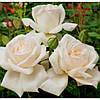 Роза чайно-гибридная Гранд Могул