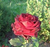 Роза чайно-гибридная «Лавли Ред»