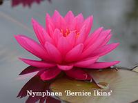 Нимфея«Бернайс Айкинс» (Nymphaea «Bernice Ikins »)