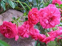 Роза почвопокровная Knirps (Книрпс)