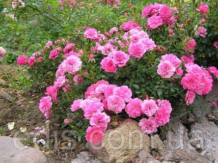 Роза почвопокровная Knirps (Книрпс), фото 2