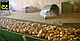 Семена лука Саманта F1 \ Samantha F1 250 000 семян Enza Zaden, фото 2