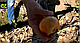 Семена лука Саманта F1 \ Samantha F1 250 000 семян Enza Zaden, фото 3