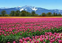Фотообои: Тюльпаны, 366х254 см, 8 частей
