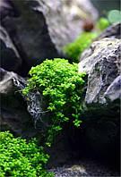 Хемиантус куба