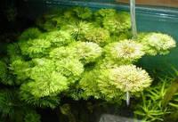 Лимнофила сидячецветковая