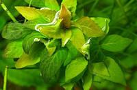 """Гигрофила коримбоза «Компакт» (Hygrophila corymbosa ''compact"""")"""