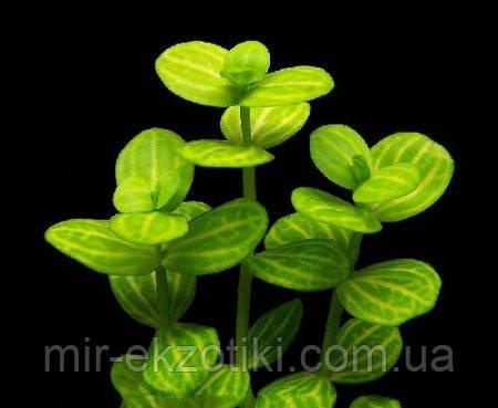 Линдерния круглолистная (узорчатая) (Lindernia rotundifolia).