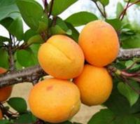 Саженцы  абрикоса Леала. Подвой жердель. (в)