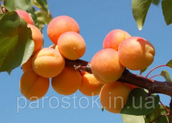 Саженцы  абрикоса Леджуна. Подвой пумиселект.
