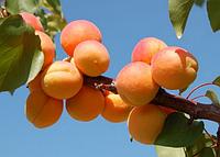 Саженцы  абрикоса Леджуна. Подвой жердель.