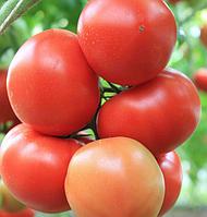 Семена томата Сильвиана F1 500 семян Enza Zaden