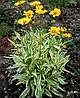 Кореопсис крупноквітковий 'Calipso' (варієгата)