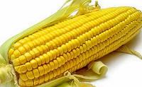 Семена кукурузы НК Канзас Syngenta