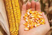 Семена кукурузы НК Кобальт Syngenta