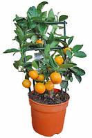 Цитрус Каламондин (на стебле), 30 см