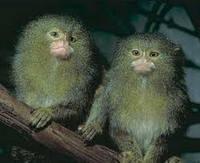 Игрунка  белоухая  ручные мини обезьянки собственного разведения