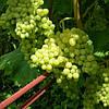 Саженцы винограда сорт Кишмиш Кеша