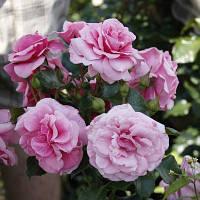 Роза бордюрная Соня (Sonia)