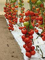 Семена томата Берберана F1 \ Berberana  F1  Enza Zaden 500 семян