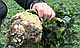 Семена Сельдерей Диамант \ Diamant 10000 семян Bejo Zaden, фото 2