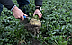 Семена Сельдерей Диамант \ Diamant 10000 семян Bejo Zaden, фото 4