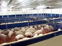 Реконструкция, ремонт помещения для холосто-супоросных свиноматок