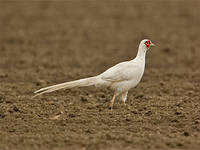 Фазан белый охотничий пара