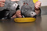 Попугайчики Жако птенчики выкормыши