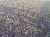 Очень слабая озимая пшеница Днепропетровской области без подкормок.