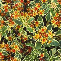 Очиток камчатский «Variegatum», фото 1