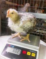 Подрощенные цыплята Мастер Грей, Испанка, Фокси Чик, возраст от 2х нд. Ромны