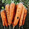 Семена моркови Тема F1, 110дней, длина плода 18 - 22см, 250000шт