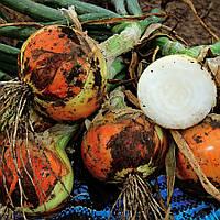 Семена озимого лука Топ Стар F1, ультра-ранний 250 - 260дней, 150 - 250грамм, 250 000шт