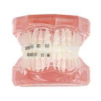 Зубная демонстрационная модель 06