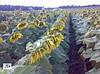 Семена подсолнечника Злаксон